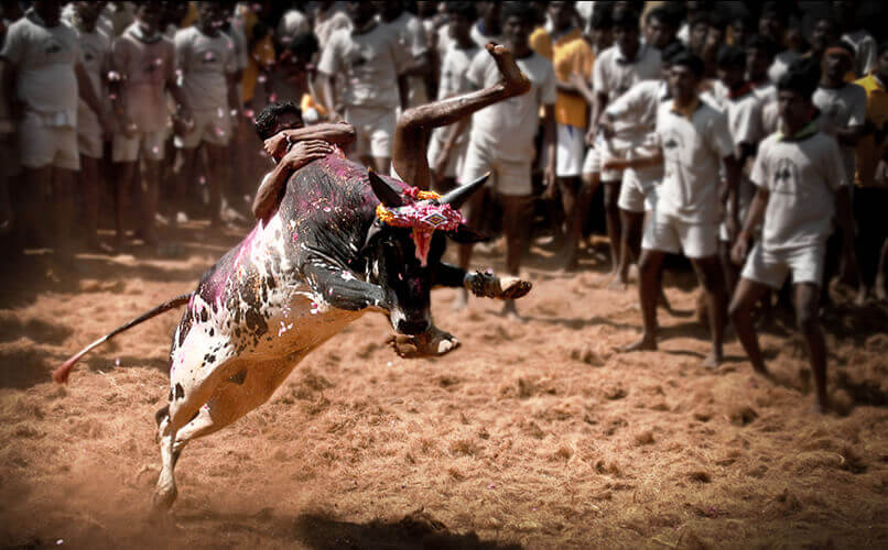 Jallikattu: History, Court Rulings, and Controversy